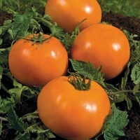 Graines potagères TOMATE RONDE de couleur/originale ORANGE QUEEN - PROSEM