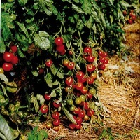 Production conventionnelle - TOMATE CERISE - PROSEM